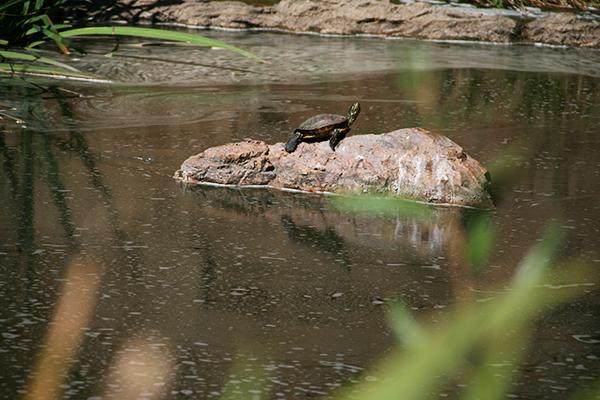 Schildpad in Golden Gate Park